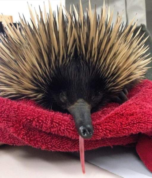 A prickly patient for UQ Veterinary School